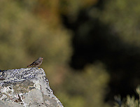 Black Redstart (Phoenicurus ochrorus) Extremadura, Spain. April 2009