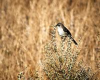 Northern Mockingbird (Mimus polyglottos). Alamosa National Wildlife Refuge, Colorado. Image taken with a Nikon D300  camera and 80-400 mm VR lens