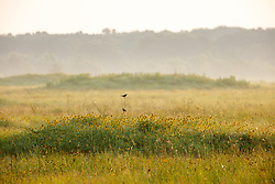 Morning fog and Dickcissel perched above Mima Mounds and new growth in aftermath of controlled burn on the Daphne Prairie, a remnant of the Blackland Prairie, Mount Vernon, Texas, USA.