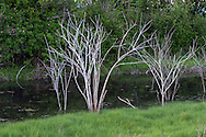 The skeletons of dead shrubs in a tidal drainage channel at Blackie Spit in Surrey, British Columbia, Canada