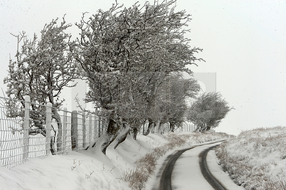 © Licensed to London News Pictures. 04/04/2019. Builth Wells, Powys, Wales, UK. Trees are blasted with snow by the blizzard conditions on the Mynydd Epynt range between Builth Wells and Brecon in Powys, UK. Photo credit: Graham M. Lawrence/LNP