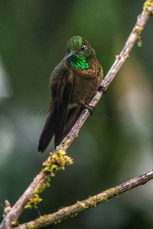 Tyrian metaltail (Metallura tyrianthina)<br /> Yanacocha Nature Reserve<br /> on slopes of Pichincha Volcano<br /> Andes<br /> ECUADOR, South America<br /> Range: Subtropical or tropical moist montane forests of Colombia, Ecuador, Peru, Bolivia & Venequela