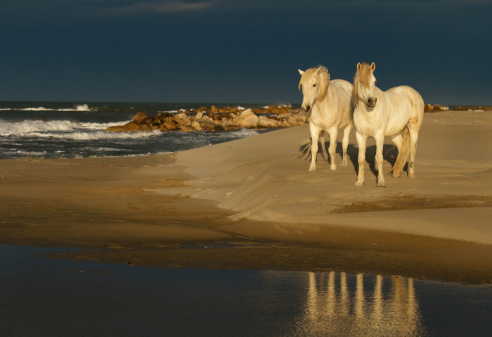 """White horses of Camargue France beach reflection.<br /> <br /> Available sizes:<br /> 12"""" x 18"""" print <br /> <br /> See Pricing page for more information. Please contact me for custom sizes and print options including canvas wraps, metal prints, assorted paper options, etc. <br /> <br /> I enjoy working with buyers to help them with all their home and commercial wall art needs."""
