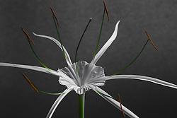 Hymenocallis-Beach Spider Lily#5