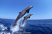 Atlantic bottlenose dolphins, Tursiops truncatus, leaping out of water, Roatan, Bay Islands, Honduras ( Caribbean Sea )