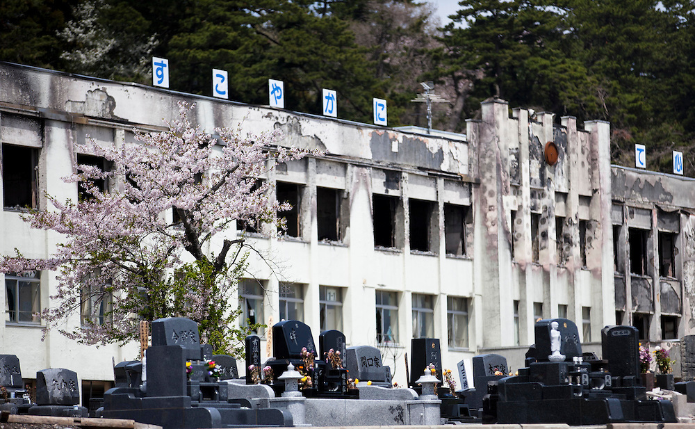 The cherry blossom in a cemetery was in full bloom in Ishinomaki city.