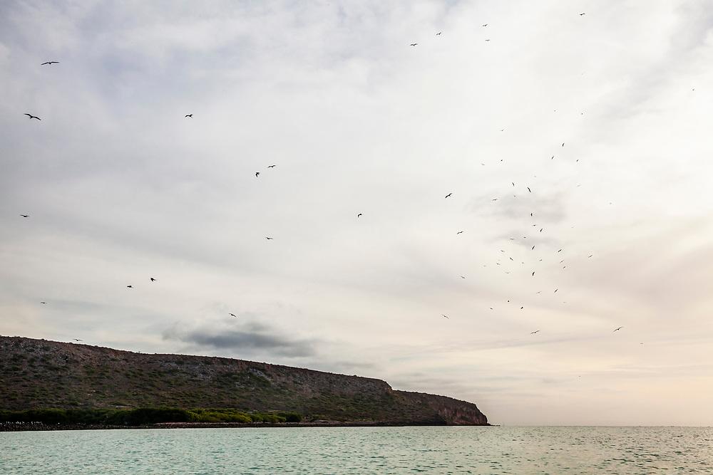 Frigatebirds swirl, swoop, and glide in the sky above, Isla Espiritu Santo, BCS, Mexico.