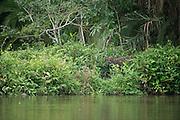 Western sitatunga bull (Tragelaphus gratus)<br /> Lekoli River<br /> Republic of Congo (Congo - Brazzaville)<br /> AFRICA