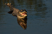 Spectacled caiman or jacara caiman (Caiman crocodilus yacare)<br /> Pantanal. Largest contiguous wetland system in the world. Mato Grosso do Sur Province. BRAZIL.  South America
