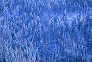 Douglas fir trees clad in a light dusting of snow. From Lostine Ridge in the Wallowa Mountains.