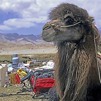 CHINA, Xinjiang. Bactrian camel surrounded by trekking equipment in Pamir Mountains.