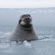 Bearded Seal, Beaufort Sea, Alaska.