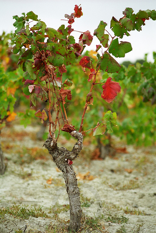 Collioure. Roussillon. Vines trained in Gobelet pruning. Vine leaves. France. Europe. Vineyard.