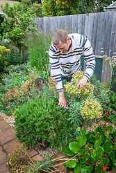 Cutting back spring flowering perennials (euphorbia) after they have finished flowering