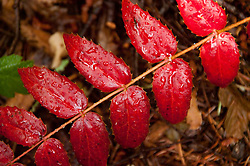 Red Leaves with Morning Dew, North Cascades National Park, Washington, US