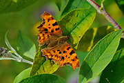 Comma Butterfly (Polygonia c-album), at rest on buddleia leaves, wings open, Oxfordshire, UK.