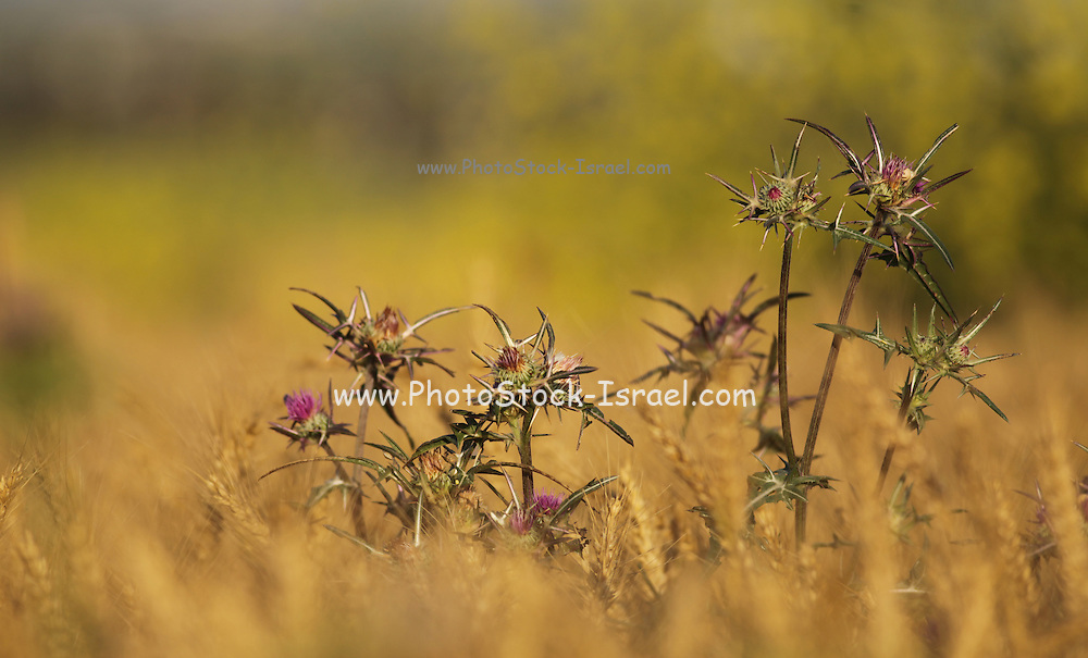Syrian Thistle (Notobasis syriaca) Photographed in Israel, spring April
