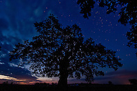This oak tree is the oldest tree of the Hortobagy National Park, Hungary