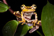 Imbabura Treefrog (Hypsiboas picturatus) CAPTIVE<br /> Chocó Region of NW ECUADOR. South America