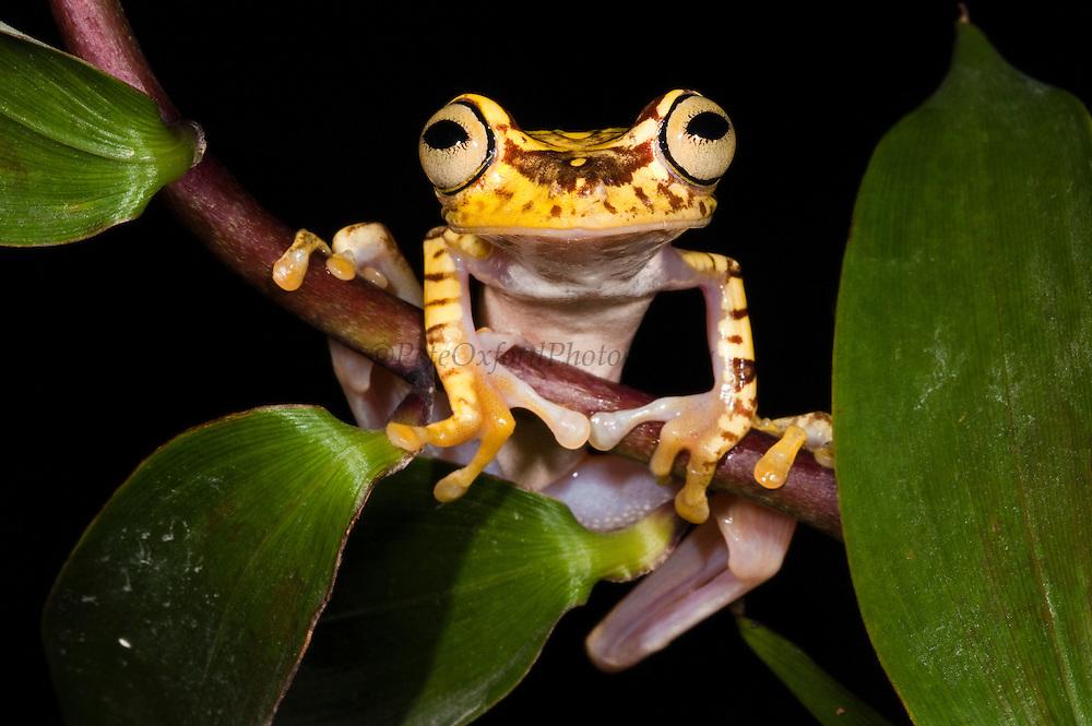 Imbabura Treefrog (Hypsiboas picturatus) CAPTIVE<br /> Chocó Region of NW ECUADOR. South America