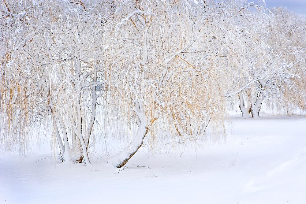 Snow on Winter Willow Grove, Spokane, Washington