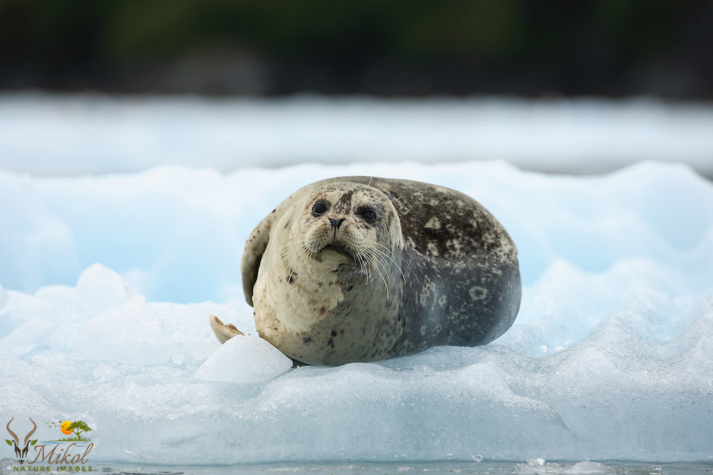 Harbor seal lying on ice from tidewater glacier