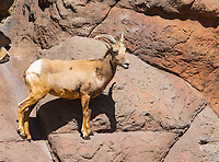Female Desert Bighorn Sheep, Ovis canadensis nelsoni, at the Arizona-Sonora Desert Museum, near Tucson, Arizona. (Captive)