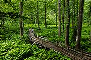 Wooden bridge throgh fern olants in vey wet forest