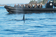 transient orca or killer whale, Orcinus orca, surfaces next to a whale watching tour boat, off Vancouver Island, BC, Canada; Editorial use only; No model releases or property release.