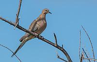 Mourning Dove, Zenaida macroura, perches on a branch in Kern National Wildlife Refuge, Kern County, California