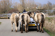 Nederland, Nijmegen, 15-3-2020 Dit weekend was er een kleine hoogwaterpiek. In Nijmegen en de aangrenzende Ooijpolder gingen veel dagjesmensen een wandeling maken langs het water .  Konikpaarden zoeken de hoge delen op en komen daar ook de mensen tegen. De konik is een wild paard. De Koniks leven hier langs de rivier. Foto: Flip Franssen