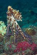 Common Reef Octopus (Octopus cyanea) - Milne Bay, PNG