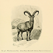 Head and horns of a West Caucasian tur (Capra caucasica) is a mountain-dwelling goat-antelope native to the western half of the Caucasus Mountains range, in Georgia and European Russia. illustration From the book ' Wild oxen, sheep & goats of all lands, living and extinct ' by Richard Lydekker (1849-1915) Published in 1898 by Rowland Ward, London
