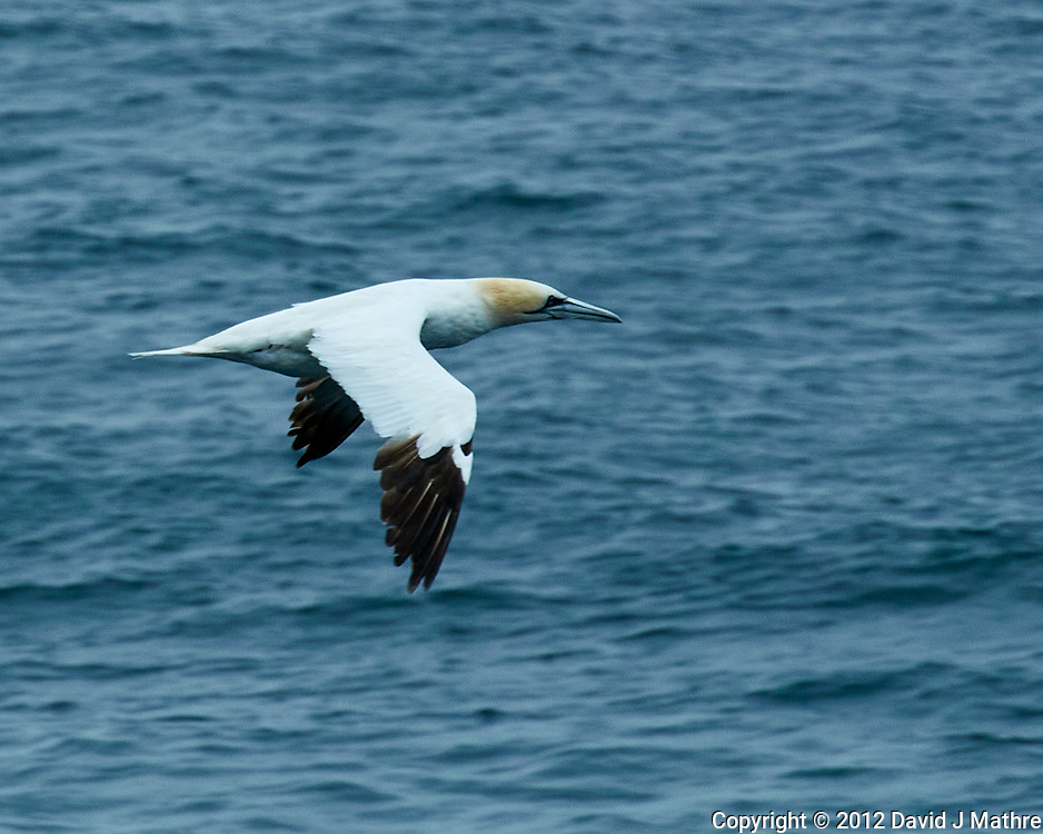 Northern Gannet (Morus bassanus). Viewed from the deck of the MV Explorer. Image taken with a Nikon N1V1 camera and 30-110 mm VR lens.