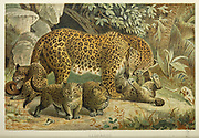Leopard (Panthera pardus) and cubs From the book ' Royal Natural History ' Volume 1 Edited by  Richard Lydekker, Published in London by Frederick Warne & Co in 1893-1894