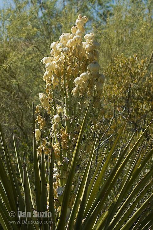 Mojave yucca, Yucca schidigera. Arizona-Sonora Desert Museum, Tucson, Arizona