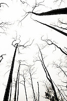 Dead burnt trees stand  sihouetted against a white sky.