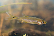 A juvenile northern pikeminnow, or Columbia River dace (Ptychocheilus oregonensis). Photographed near the Chehalis River in Washington.