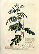 Coloured Copperplate engraving of an Indigofera flower from hortus nitidissimus by Christoph Jakob Trew (Nuremberg 1750-1792)