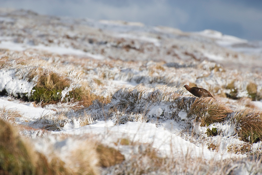 Red Grouse about to fly off.