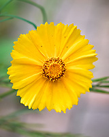 Lance-leaf Coreopsis. Image taken with a Leica SL2 camera and 50 mm f/1.4 lens
