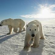 Polar bear (Ursus maritimus) mother and her cub at Cape Churchill on the shores of Hudson Bay, near Churchill, Manitoba, Canada.