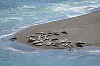 Seals and their newly-born pups on a sandbank at the estuary of the Russian River, at Jenner, Sonoma County, California, USA. 201304292062<br /> <br /> Copyright Image from Victor Patterson, 54 Dorchester Park, Belfast, UK, BT9 6RJ<br /> <br /> Tel: +44 28 9066 1296<br /> Mob: +44 7802 353836<br /> Voicemail +44 20 8816 7153<br /> Skype: victorpattersonbelfast<br /> Email: victorpatterson@me.com<br /> Email: victorpatterson@ireland.com (back-up)<br /> <br /> IMPORTANT: If you wish to use this image or any other of my images please go to www.victorpatterson.com and click on the Terms & Conditions. Then contact me by email or phone with the reference number(s) of the image(s) concerned.