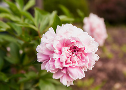 A soft pink peony flower greets me from the garden on this beautiful morning