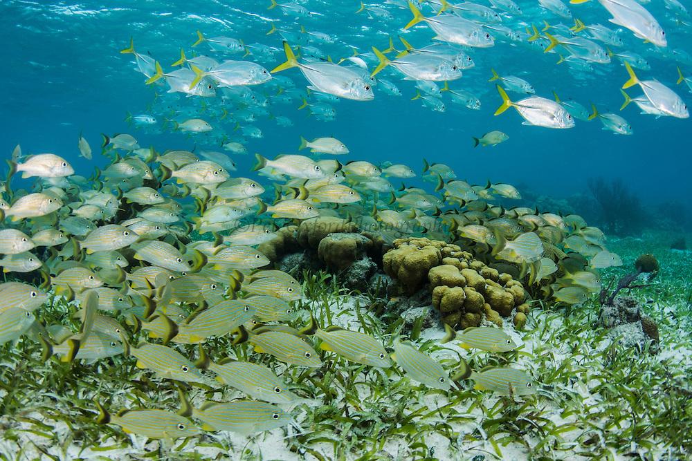 Bluestriped Grunt (Haemulon sciurus) & Horse-eye Jack (Caranx latus)<br /> Hol Chan Marine Reserve<br /> near Ambergris Caye and Caye Caulker<br /> Belize<br /> Central America