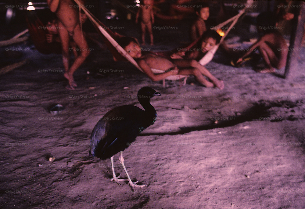 YANOMAMI INDIANS. South America, Brazil, Amazon. Wild bird chicken in Molaca or Shabono traditional anomami dwelling. Yanomami indians, a primitive tribe, living in the tropical rainforest, in communal traditional molaca dwellings. They are huntergatherers passing on their traditions and skills  from generation to generation. They are the guardians of their forest and its fragile ecosystem. Their lifestyle and their lands diminish every year in the face of encroaching deforestation, forest fires, campesinos who slash and burn primary rainforest, from cattle ranching, commercial plantations, gold and diamond mines.