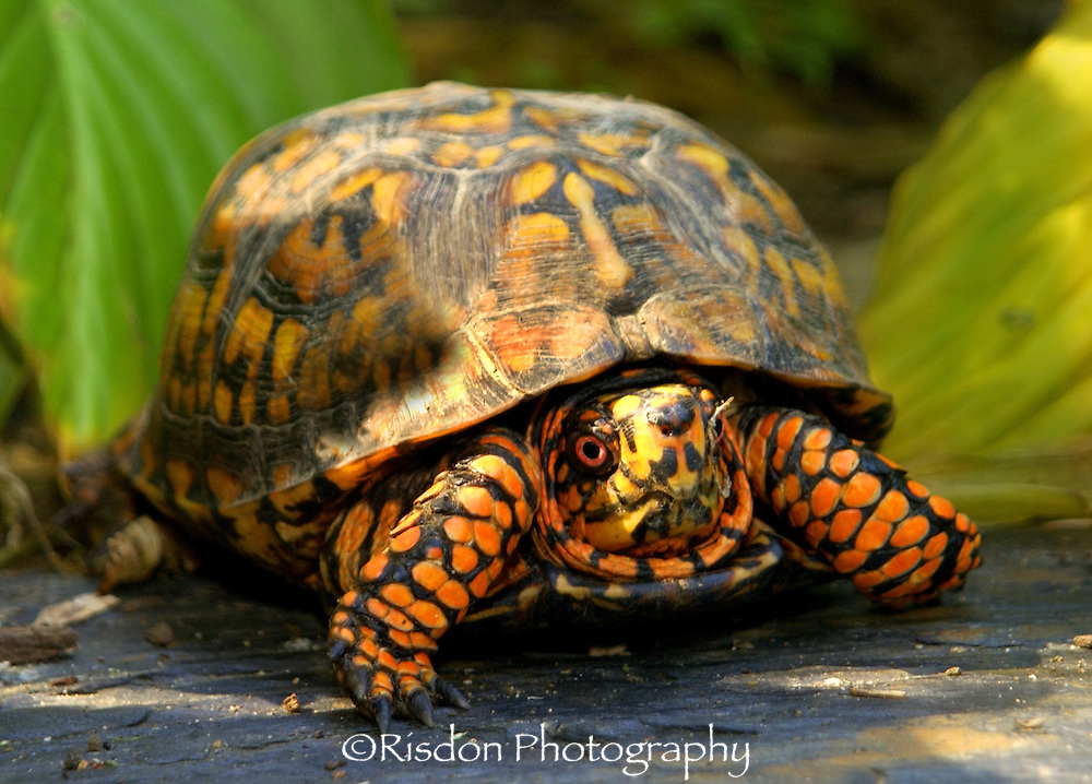 box turtle, box turtle in grass, macro box turtle head, orange and black box turtle