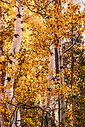 Bright Aspens Highlight Fall Color in Grand Teton National Park Wyoming