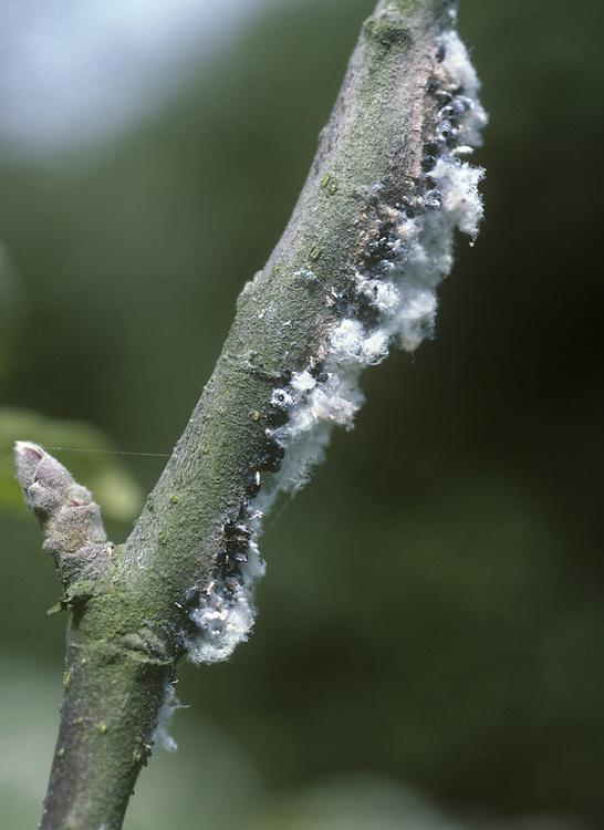Woolly Aphid - Eriostoma lanigerum
