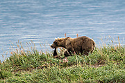 A Brown Bear yearling cub reaches up to touch his mother as they relax on the grass of Naknek Lake at Katmai National Park and Preserve September 16, 2019 near King Salmon, Alaska. The park spans the worlds largest salmon run with nearly 62 million salmon migrating through the streams which feeds some of the largest bears in the world.